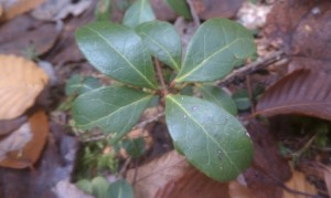 Wintergreen (Winterberry) Mint